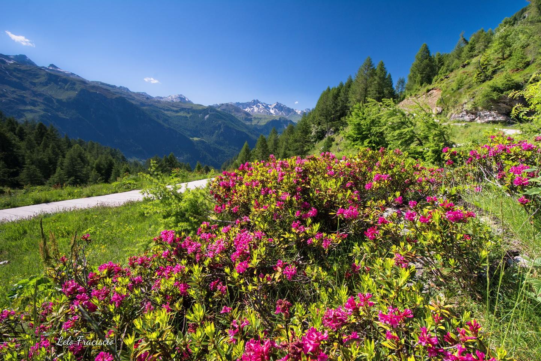 fioritura di rododendri